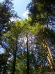 Лесные культуры пихты Нордмана