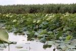 Местообитание лотоса орехоносного в Садковском Гирле
