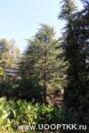 Роща кедра гималайского