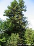 Секвойя гигантская (15 деревьев)