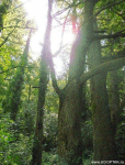 Роща болотного кипариса