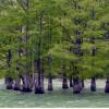 Памятник природы «Кипарис болотный»